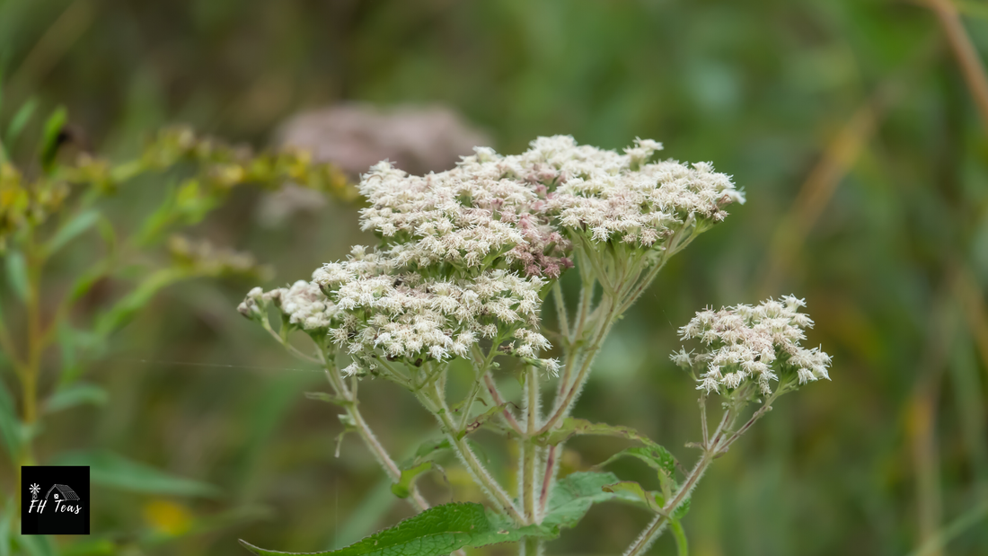 boneset, peppermint, herbs that grow in shade, shade loving herbs, medicinal herbs, herbs to grow for medicine, herbs to grow for tea, medicinal herbs, medicinal tea, growing herbs, how to grow herbs, where to grow herbs, what herbs grow in my zone, medicinal herbs for zone, 1, 2, 3, 4, 5, 6, ,7, 8, 9 ,10, shade garden, understory herbs, herbs for the orchard, herbs for colds, herbs for flu, herbs for arthritis, anti-iinflammatory herbs, farmhouse teas, grow create sip, medicinal teas in small spaces,
