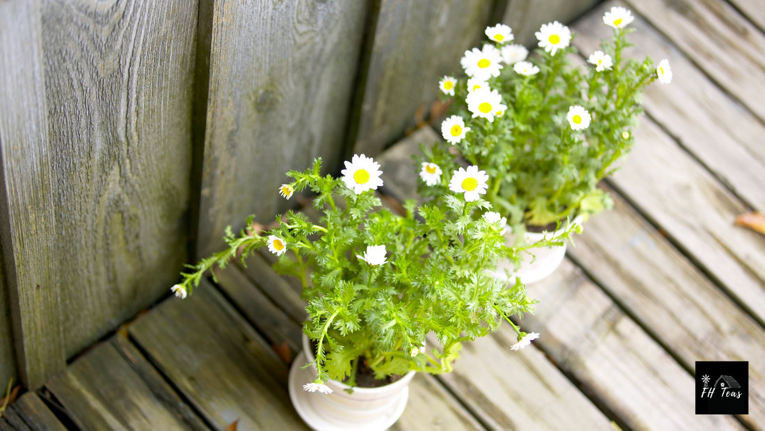 Feverfew, peppermint, herbs that grow in shade, shade loving herbs, medicinal herbs, herbs to grow for medicine, herbs to grow for tea, medicinal herbs, medicinal tea, growing herbs, how to grow herbs, where to grow herbs, what herbs grow in my zone, medicinal herbs for zone, 1, 2, 3, 4, 5, 6, ,7, 8, 9 ,10, shade garden, understory herbs, herbs for the orchard, herbs for colds, herbs for flu, herbs for arthritis, anti-iinflammatory herbs, farmhouse teas, grow create sip, medicinal teas in small spaces,